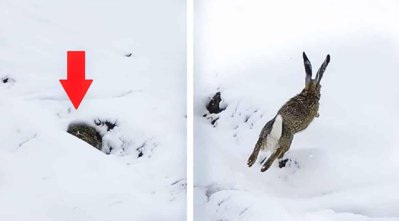Las consecuencias de Filomena: un cazador graba a una liebre encamada en la nieve