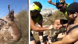 Varios cazadores rescatan a una cabra montés que se encontraba al borde de la muerte