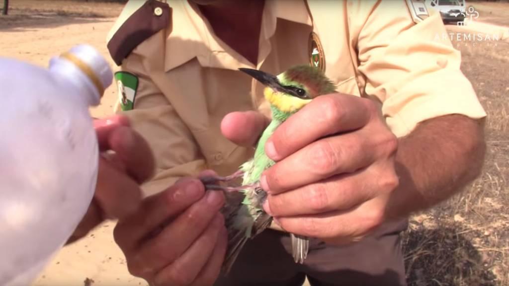 Los guardas de caza ayudan a un abejaruco tras el incendio de Doñana en 2017. /Artemisan