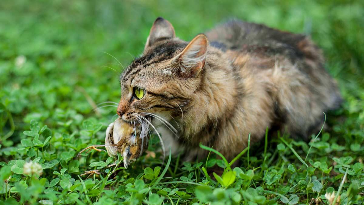 Los cazadores franceses proponen atrapar a los gatos que estén a más de 300 metros de las viviendas