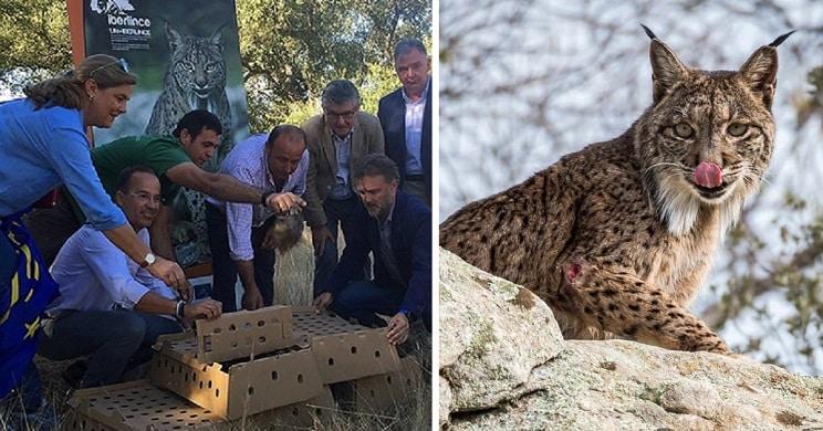 Tres noticias de cazadores que ayudan a linces que no compartirán los grandes medios