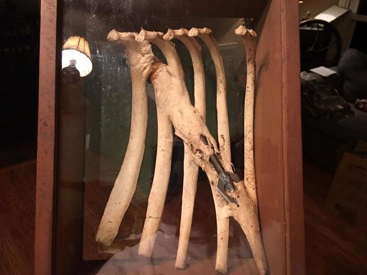 Cazan un ciervo y, al desollarlo, encuentran una vieja flecha clavada en su esqueleto