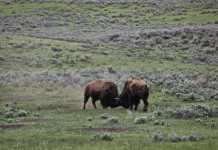 cazar bisontes