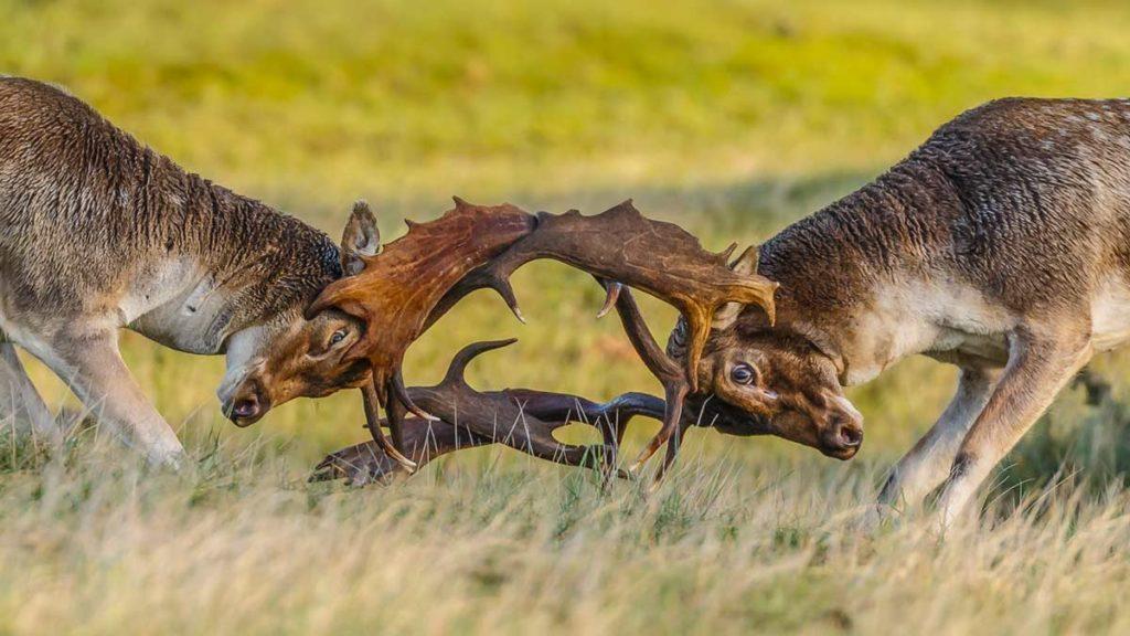 Dos gamos peleando durante la ronca. @Shutterstock
