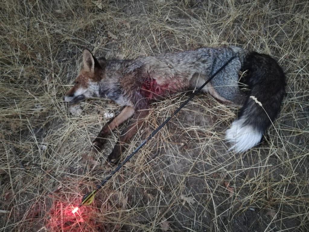 Caza con arco un zorro con un espectacular rabo