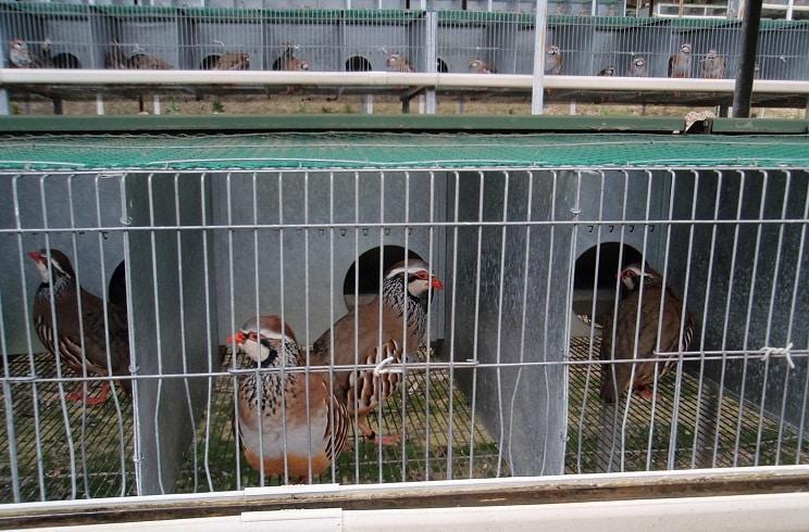 centro de cria de perdiz roja