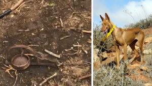 Heridos tres perros de caza tras caer en varios cepos ilegales