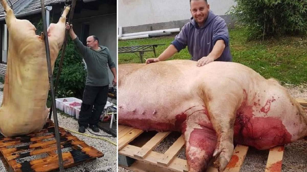 Estas son las impresionantes fotos de un cochino gigante: ¡Tiene el tamaño de una vaca!