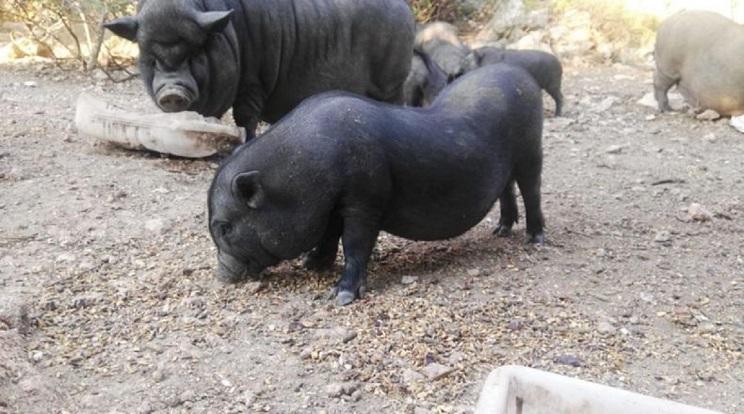 Tarragona gastará 7.500 euros públicos para cuidar a 36 cerdos vietnamitas