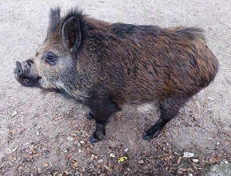 cerdos vietnamitas asilvestrados