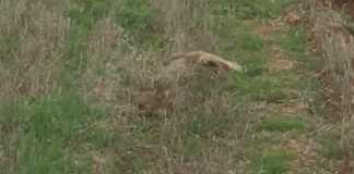 cernicalo ataca liebre