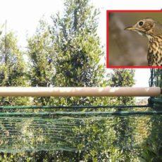Apaval logra que el cesto malla se plantee como alternativa al parany tradicional para cazar zorzales