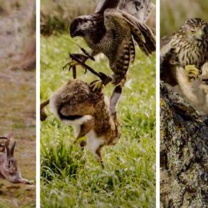 Estas imágenes de azores a la caza de perdiz, conejo y liebre son una oda a la cetrería