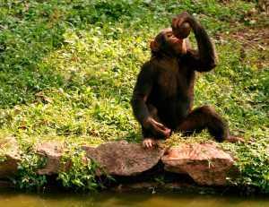 chimpance-drunk