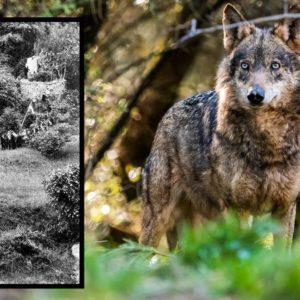 Así cazaban lobos vivos nuestros antepasados: el chorco de Valdeón