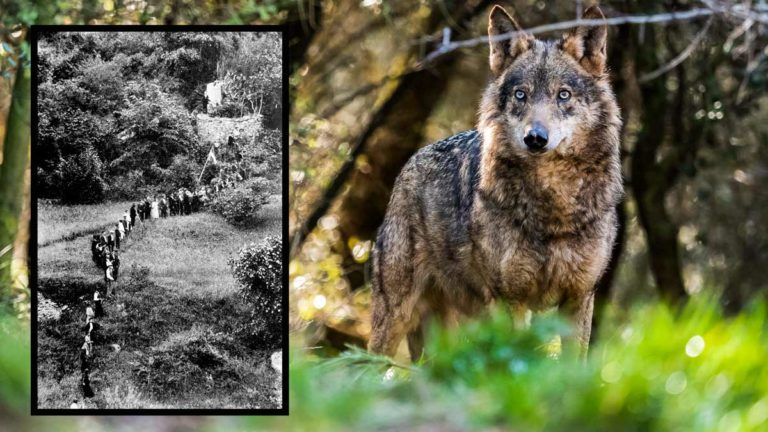 Imagen de una cacería en el chorco de Valdeón y una loba viva.
