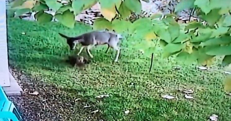Una cierva ataca a un gato y lo mata