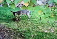 cierva ataca a un gato