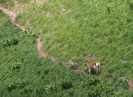 cierva ataca lobo