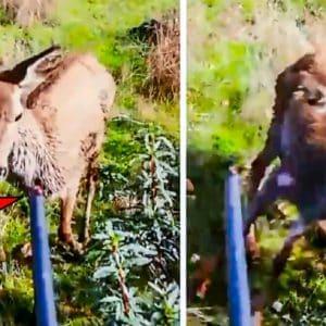 Una cierva se acerca hasta casi tocar el cañón de un cazador en una montería y esta es su reacción