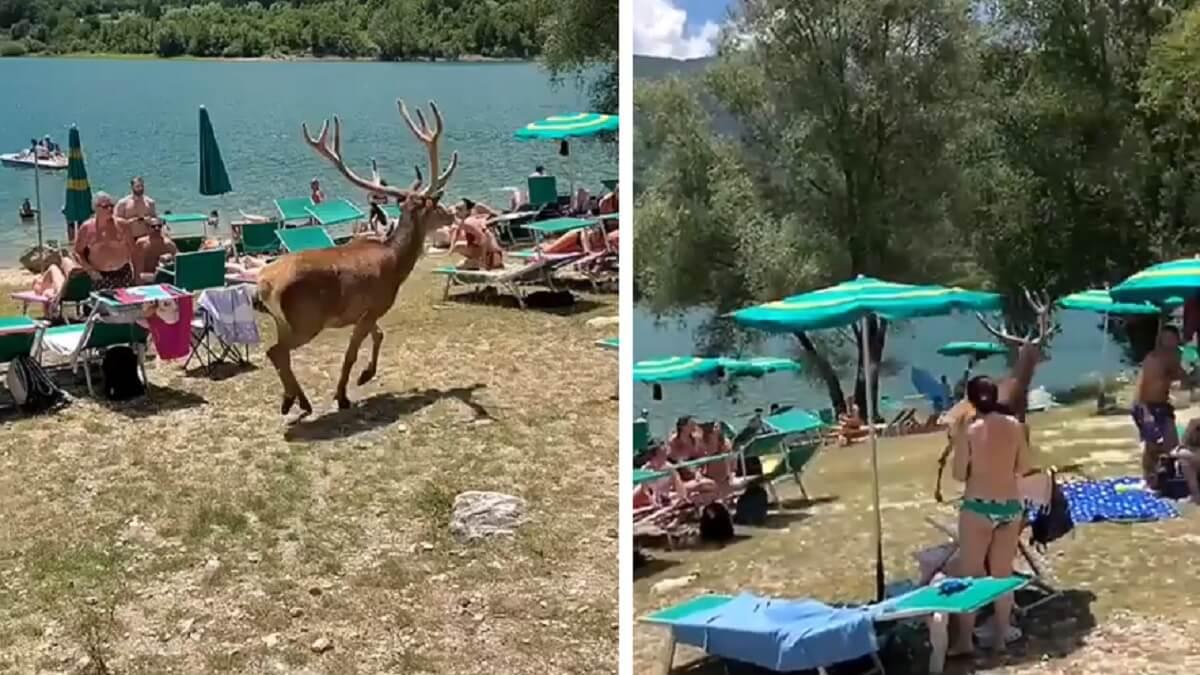 Graban a un ciervo deambulando entre cientos de turistas en una zona de baño