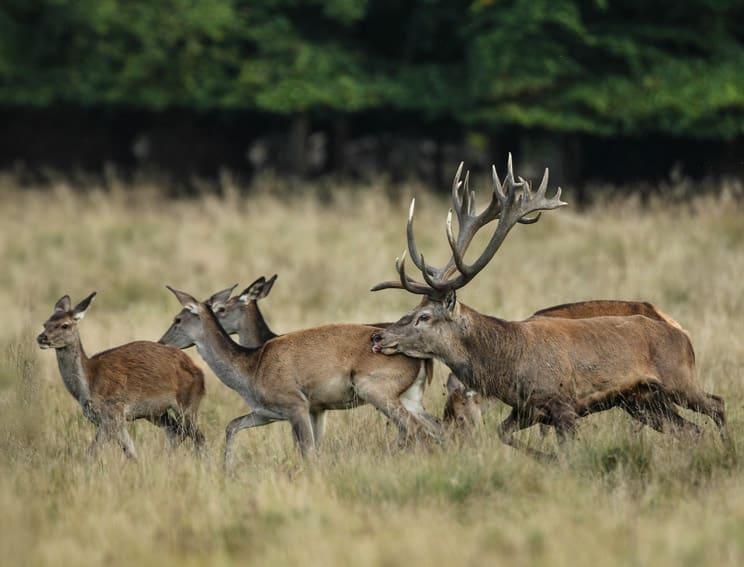 Los cazadores alemanes son criticados por negarse a cazar más ciervos