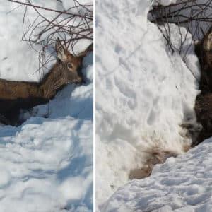 El deshielo saca a la luz las mortales consecuencias de Filomena para los ciervos