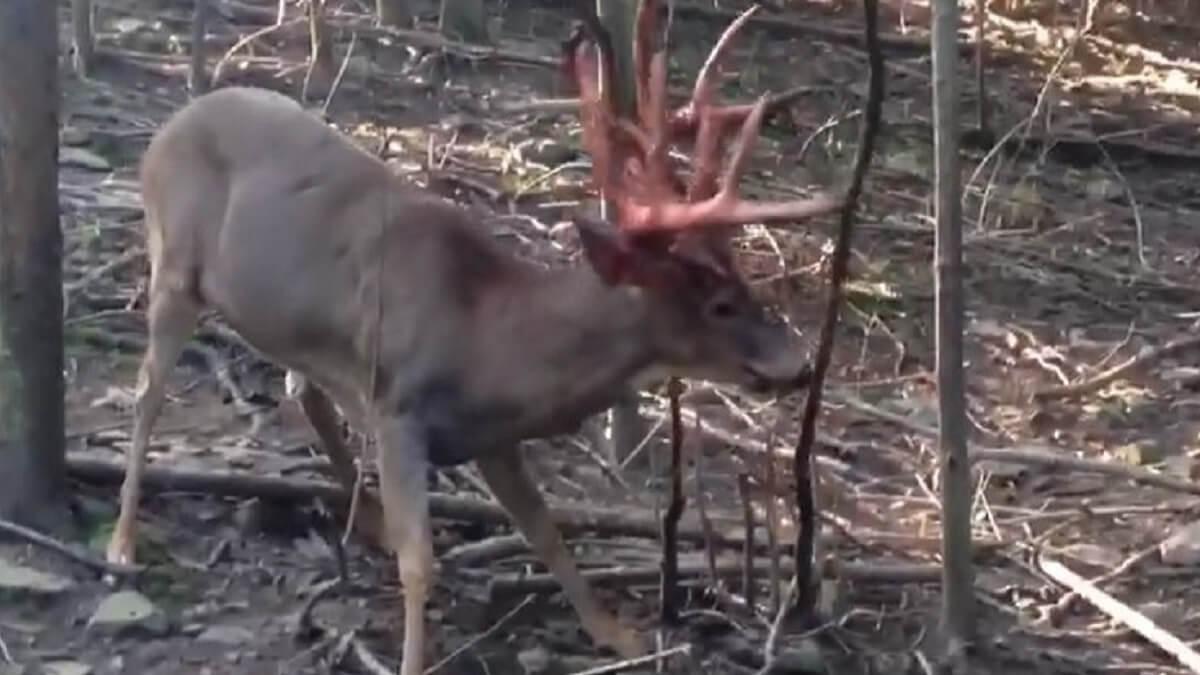 Este es el vídeo de un ciervo descorreando en directo que han visto millones de cazadores