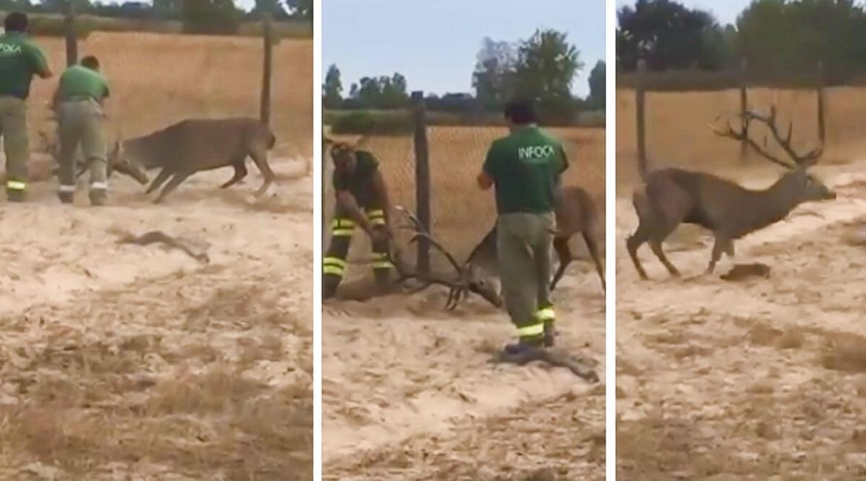 Así fue el complicado rescate de un ciervo atrapado en un vallado de Doñana