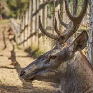 El ciervo que atacó a dos hombres en Zamora podría estar en cautividad sin autorización