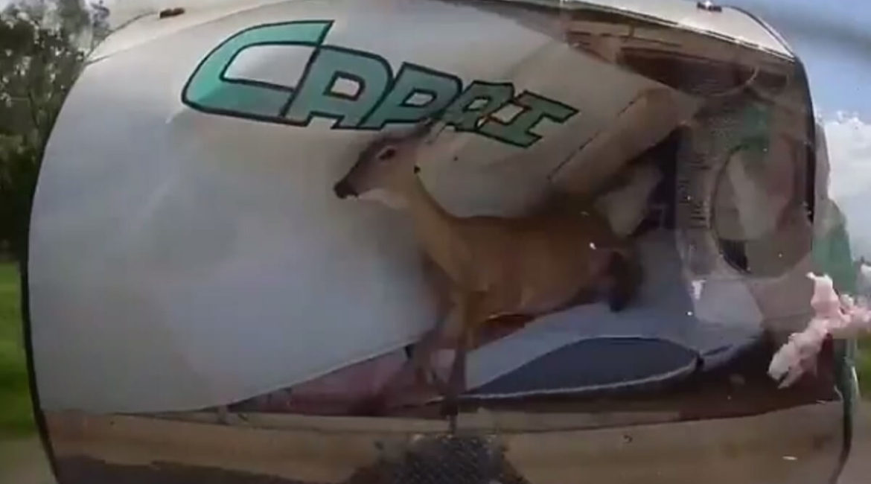 Graban cómo un ciervo se estampa contra una caravana en una carretera