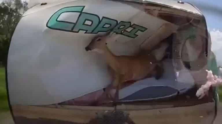 ciervo caravana