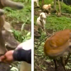 El Seprona denuncia a un ganadero por criar un ciervo huérfano