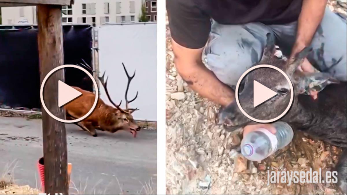 Los medios atacan a la caza con imágenes de un ciervo francés mientras silencian este otro vídeo