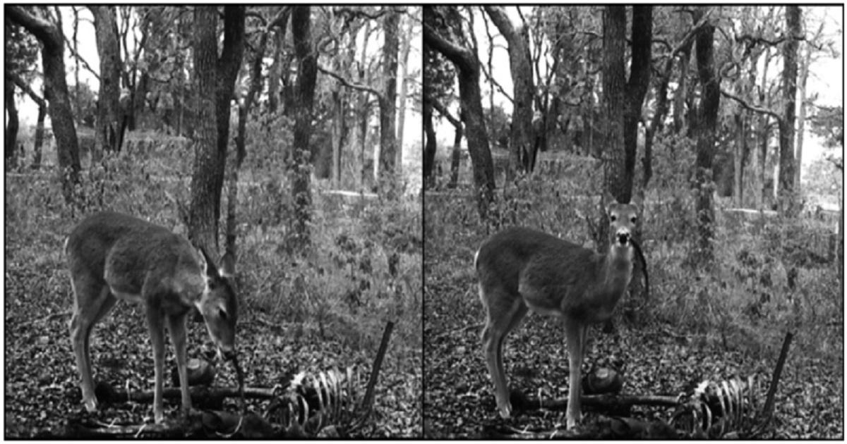 Descubren imágenes de un ciervo con una costilla humana en la boca