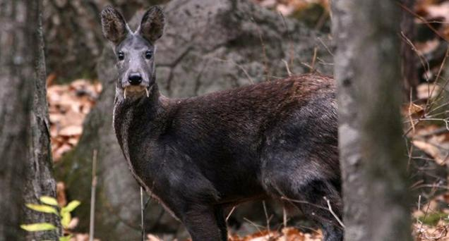 El ciervo vampiro, en peligro por su valioso almizcle