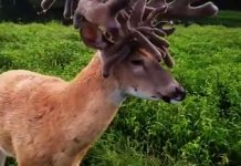 ciervo descomunal cornamenta 2