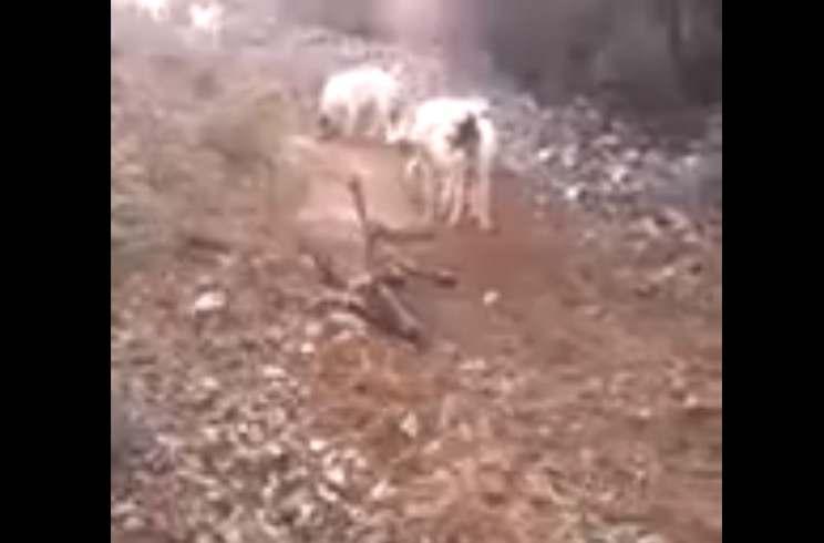 Un ciervo se la juega a los perros… ¿haciéndose el muerto?