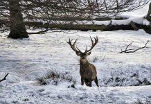 ciervo entre la nieve