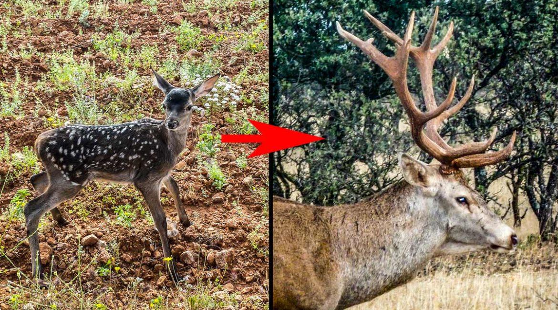Fotografía a un ciervo durante años para ver la evolución de su cuerna y este es el sorprendente resultado