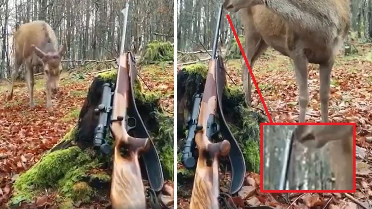 Video surrealista: un ciervo se acerca tanto a un cazador que ¡mira lo que sucede!