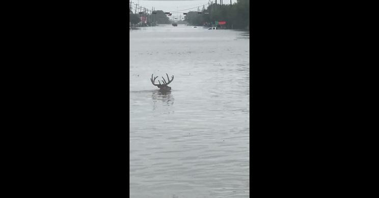ciervo nadando