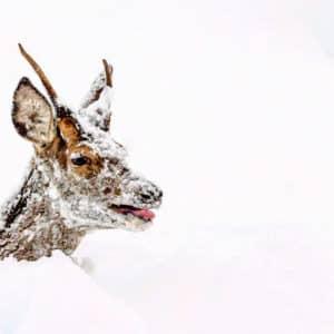 La foto de un ciervo con la nieve al cuello en León muestra la dureza del temporal