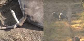 ciervo pata rota trofeo extraño