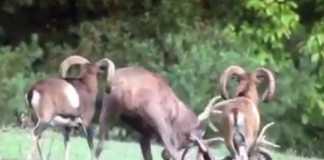ciervo pelea muflon