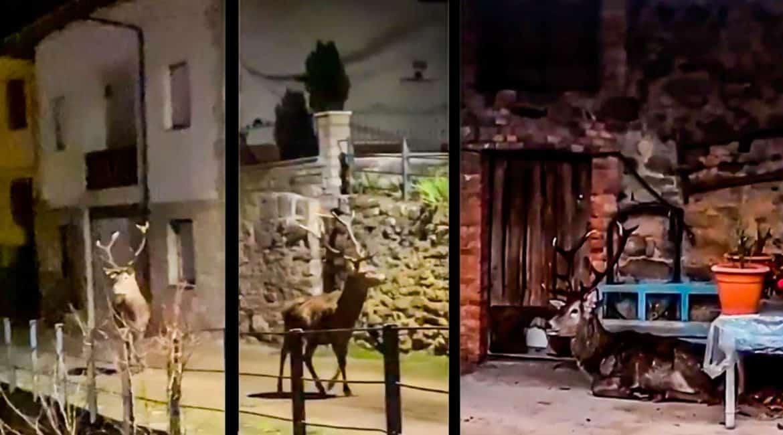 Graba a un ciervo en un pueblo de León en mitad de la noche: «Venía escapando de los lobos»