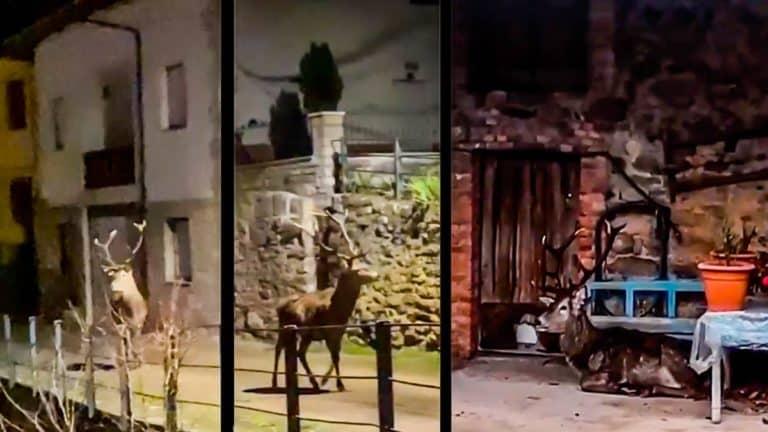 El ciervo caminando por las calles de Argovejo. ©YouTube