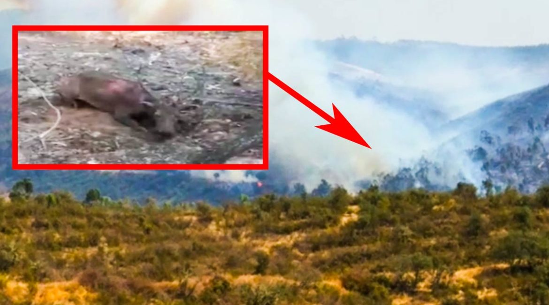 Un cazador graba a un ciervo quemado por el incendio y aún con vida