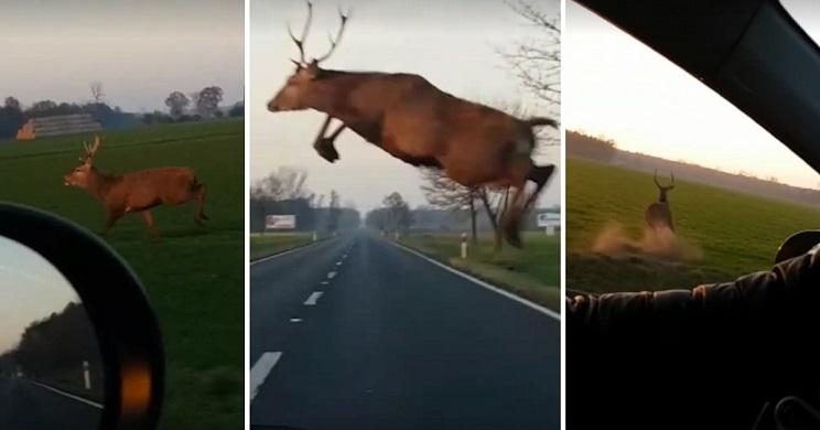 ciervo salta una carretera de lado a lado