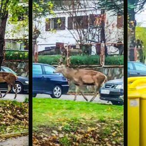 Graban a un ciervo de 10 puntas caminando por las calles de Puebla de Sanabria